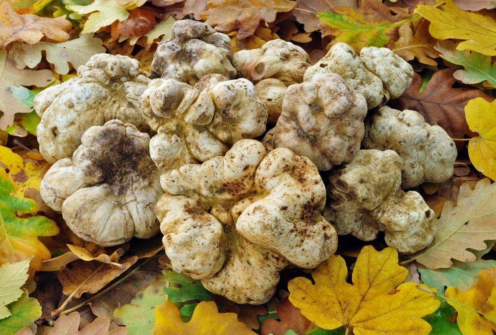 Coltivazione tartufi bianchi: è possibile?