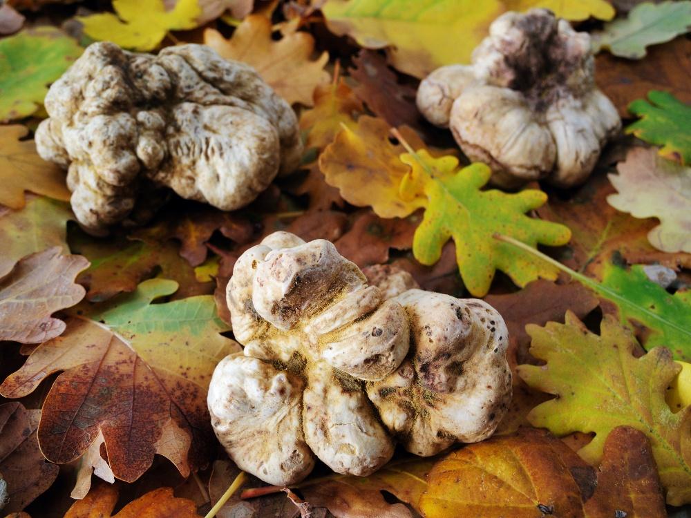 piante micorizzate tartufo bianco caratteristiche